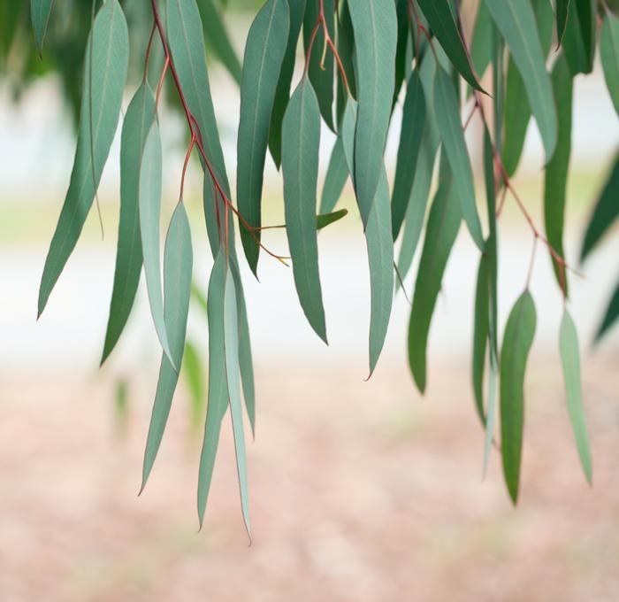 Xịt tinh dầu Kangaroo Eucalyptus Oil Spray